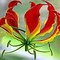 Larry Nieland - Flame lily I