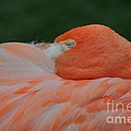 Mary Machare - Flamingo at Rest