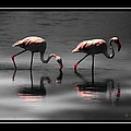 Ernestine Manowarda - Flamingo Glow