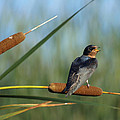 James Peterson - Fledgling Barn Swallow
