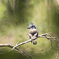 Peggy Collins - Fledgling Kingfisher