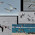 Dawn Currie - Flight of Black Skimmers