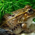 Richard Bryce and Family - Florida Leopard Frog