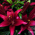 Luther   Fine Art - Flower - Burgundy Lily -...