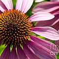 Andrea Anderegg  - Echinacea Close up