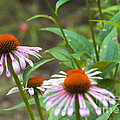 Luther   Fine Art - Flower - Cone Flower-...