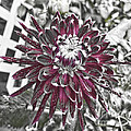 Luther  Fine Art - Flower - Dahlia at Dusk...