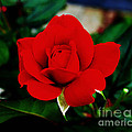 Luther   Fine Art - Flower  - Daring Red...