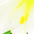 Luther  Fine Art - Flower -Easter Lily...