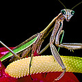 Leslie Crotty - Praying Mantis Taking A...