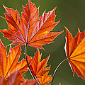 Christina Rollo - Fresh Red Maple Leaves...
