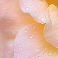 Sweet Moments Photography                  - Fresh Scented Rose