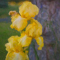 Omaste Witkowski - Friendly Yellow Irises