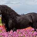 Wes and Dotty Weber - Friesian Fleur D6371