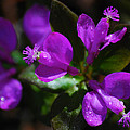 Christina Rollo - Fringed Polygala