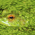 Michael P Ray - Frog in single celled...