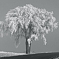 Penny Meyers - Frosted Tree BW