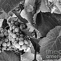 Luther Fine Art - Fruit -Grapes in Black...