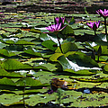 Suzanne Gaff - Fuchsia Water Lilies -...