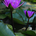 Suzanne Gaff - Fuchsia Water Lilies V...