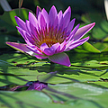 Suzanne Gaff - Fuchsia Water Lily -...