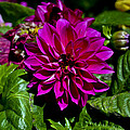 Robert Estes - Fuschia Dahlia On Green