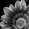 Bruce Bley - Gazania in Black and...