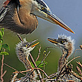 Larry Nieland - Great Blue Heron Twins