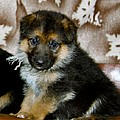 Karon Melillo DeVega - German Shepherd Puppy