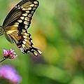 Karen Adams - Giant Swallowtail...