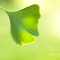 Reflective Moments  Photography and Digital Art Images - Gingko