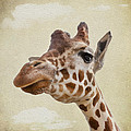 Svetlana Sewell - Giraffe close up