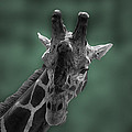 Thomas Woolworth - Giraffe