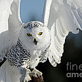 Inspired Nature Photography By Shelley Myke - Glowing Snowy Owl in...
