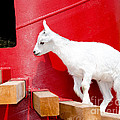 Laurel Best - Goat at Play