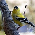 Dona  Dugay - Gold Finches in Spring