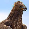 Dave Cawkwell - Golden Eagle Portrait