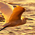 Jerry Cowart - Golden Egret Bird Nature...