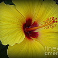 Photographic Art and Design by Dora Sofia Caputo - Golden Hibiscus