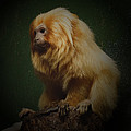 Ernie Echols - Golden Lion Tamarin