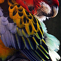 Lydia Holly - Golden Mantled Rosella