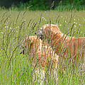 Jennie Marie Schell - Golden Retriever Dogs...