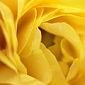 Jennie Marie Schell - Golden Yellow Ranunculus...