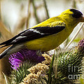 Darleen Stry - Goldfinch atop a Purple...