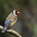 Chris Smith - Goldfinch Carduelis...