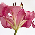 Kim Andelkovic - Graceful Lily