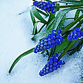 Julie Magers Soulen - Grape Hyacinths in Snow