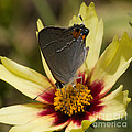 Chris Scroggins - Gray Hairstreak Butterfly