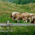 MTBobbins Photography - Grazing Cows