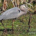 Kathy Baccari - Great Blue Heron And The...